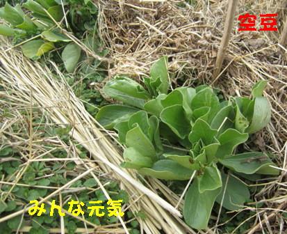 エンドウと空豆 (5)