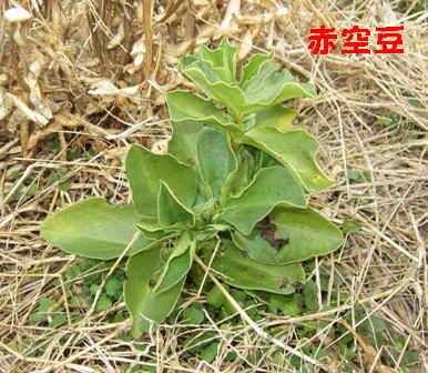 エンドウと空豆 (2)