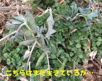 エンドウと空豆 (4)