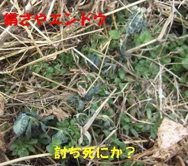 エンドウと空豆 (3)
