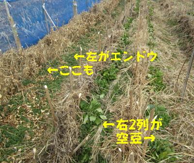 エンドウと空豆 (1)