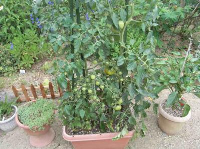トマト20120701-01