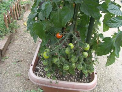 トマト20120701-02