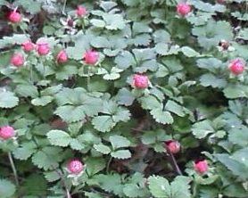 20120602野イチゴ