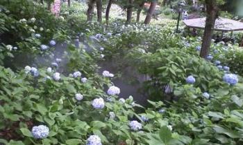 20120610あじさい祭り3