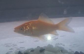 20120806金魚1