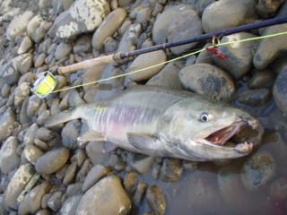 salmon_tedori1