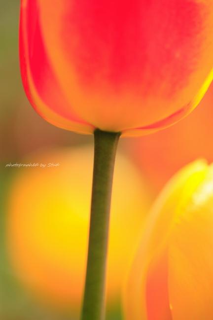 tulip20120519.jpg