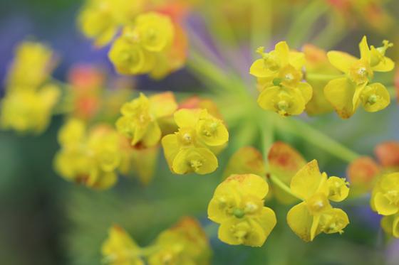kiironohana_20120516124309.jpg