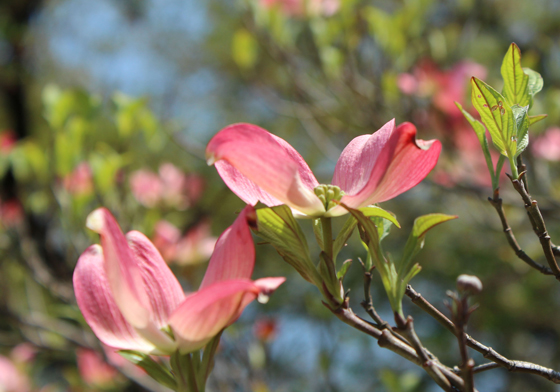 pinkuhanamzuki.jpg