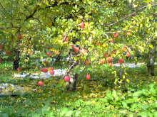 獣の足跡をたどって・・・-林檎の樹