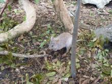 獣の足跡をたどって・・・-ネズミカンガルー