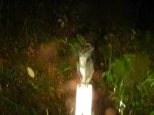 獣の足跡をたどって・・・-ススイロメンフクロウ