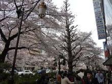獣の足跡をたどって・・・-桜満開大学通り