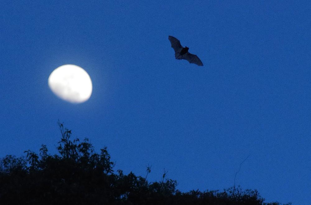 コウモリと月