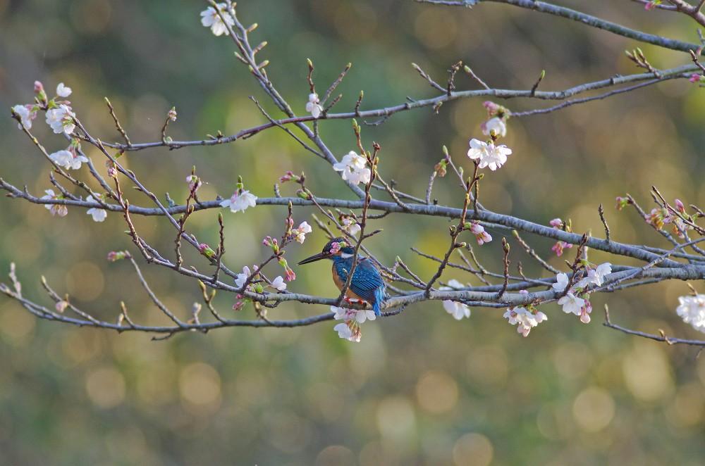 カワセミ桜