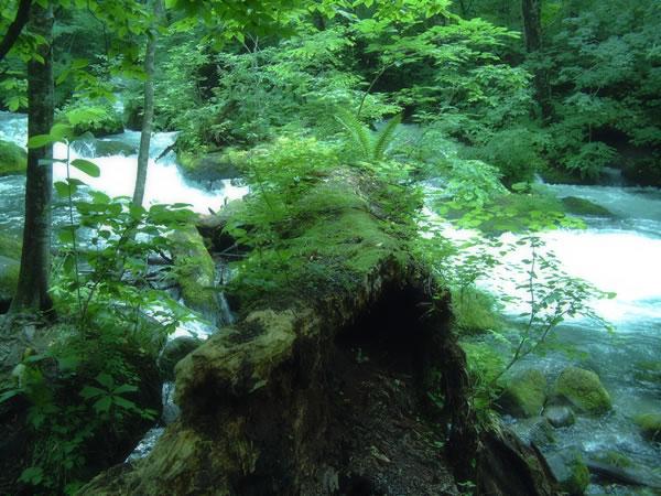 苔むした倒木の架け橋