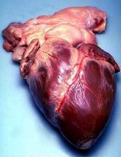 ヒトの心臓