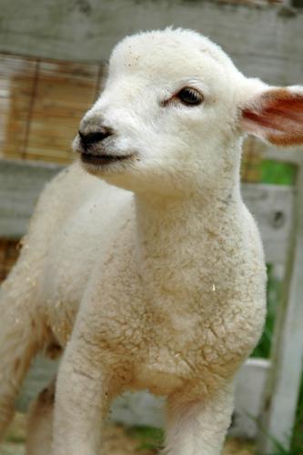 もこもこ子羊