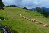 いよいよ綿羊ショー始まります