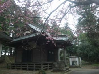 茂原観音の桜