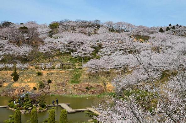 DSC_5503広角で 桜