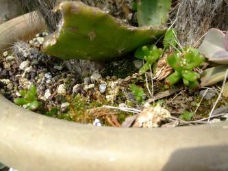 1年草~セダム カウルレア(Sedum caeruleum) ~まだまだ小さいのに・・・もう花芽が上がってきました(+_+)2013.04.23