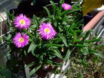 デロスペルマ 沙坐蘭(サザラン)(Delosperma sutherlandii)(サザーランディー)開花中~♪2013.04.26
