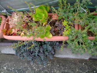 5月1日雨上がりの潤う多肉植物たち~♪からす葉みせばやが元気です♪2013.05.01