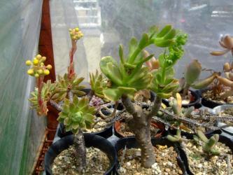左:アエオニウム シムシー(Aeonium simsii)墨染、右:アエオニウム スミッチー(Aeonium smithii )2種とも花芽が~♪今年はアエオが花盛り2013.04.26