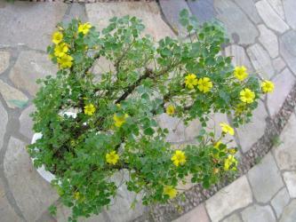オキザリス ギガンティア(Oxalidaceae Oxalis gigantea) まだまだ水やりしています♪茂りながらたくさん開花中~(^◇^)2013.05.15