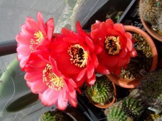 ヘリアントセレウス(Helianthocereus) ~柱状になり頂上に花芽をあげる大輪花~たくさん咲いています♪2013.05.24