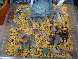 エケベリア 青い渚 (Echeveria setosa var. minor)胴切り&葉挿し中~♪脇芽形ができてきました♪2013.05.28