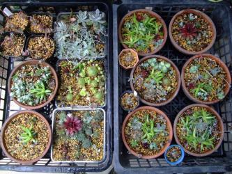 センペル、オロスタキス、ミセバヤ、セダムいろいろ混ぜてたくさん寄せ植え作りました♪観察しま~す♪2013.05.20