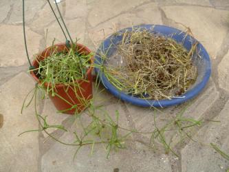 ホヤ レツーサ(Hoya retusa)東インド原産?・・・生きている部分だけ残して植え替えました・・・お願い朽ちないで欲しいです。2013.04.17