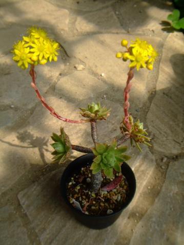 アエオニウム シムシー(Aeonium simsii)墨染~開花中♪2013.05.08