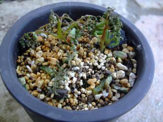 セダム カウルレア(Sedum caeruleum)~1年草~こぼれ種発芽苗 ~置き場所を良かれと移動したら・・・翌日こんなになっていました・・・2013.05.24