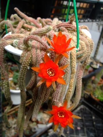 カマエケレウス 白檀(びゃくだん)(Chamaecereus silvestrii)にょろにょろ~開花始めました~♪2013.05.29