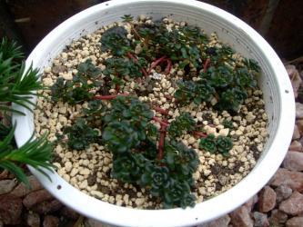 セダム オレガナム(Sedum oreganum )茎が赤い~♪新芽が茎元から出てきました(^◇^)2013.0420