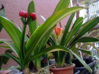 斑入りクンシラン(君子蘭)(Clivia miniata)原産地:南アフリカ~赤い実は去年咲いた花の種です♪すごい!花茎 マデ2トンカラ~(^◇^)2013.04.18