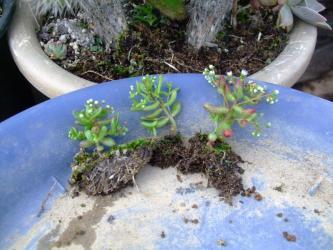 セダム カウルレア(Sedum caeruleum)~1年草~こぼれ種発芽苗~♪鉢上げして育ててみます♪2013.05.13