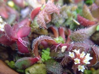 クラッスラ  ソシアリス?不明種(Crassula sp. Transvaal, Drakensburg)2013.04.03
