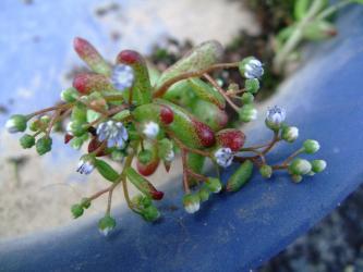 セダム カウルレア(Sedum caeruleum)1年草~ぼれ種発芽苗~このところの寒暖差に葉縁が赤く紅葉しています♪もう開花中~2013.05.13