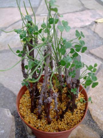 オキザリス ギガンティア(Oxalidaceae Oxalis gigantea)挿し木苗もまだ葉がしっかり生えています♪根は出たのでしょうか?今年の休眠明けに葉が茂り始めるか確かめます♪2013.04.20