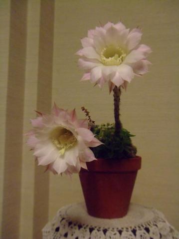 エキノプシス 世界の図(Echinopsis eyriesii f.variegata) 夜咲き始めたので室内で観賞します♪~2013.05.22