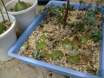 ユリ科 ボウィエア ボルビリス(Liliaceae Bowiea volubilis) 蔓葉が出てきたので植え替えします!緑の鱗茎一皮むい鱗茎挿しにチャレンジ~♪2013.04.09