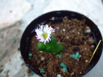 ディプロソマ ルックホフィ(怪奇玉)(Diplosoma luckhoffii)薄いピンク花びらがチリチリ~♪2013.02.11