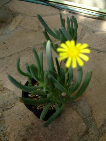 オトンナ オピマ( Othonna opima)?不明種~南西アフリカ ナミビア、ケープ州北部~菊の花が開花中~♪2013.02.14