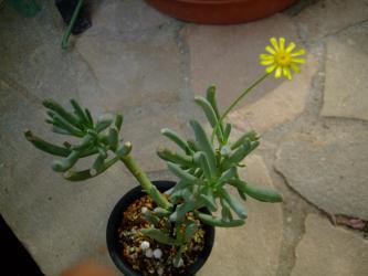 オトンナ オピマ( Othonna opima)?不明種~南西アフリカ原産~草木みたいな多肉葉です♪2013.02.14