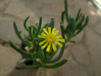 オトンナ オピマ( Othonna opima)?不明種~南西アフリカ原産~野菊のような花~♪2013.02.14